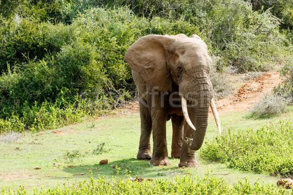 Côté africaine Bush éléphant solitaire Photo stock © markdescande