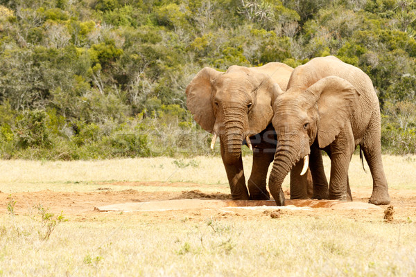 Two love birds elephants drinking water Stock photo © markdescande