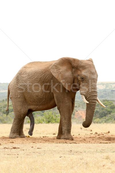 Oldalnézet bokor elefánt áll zárt erdő Stock fotó © markdescande