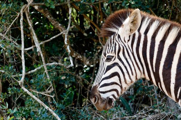 Tő éles zebra néz fák fű Stock fotó © markdescande