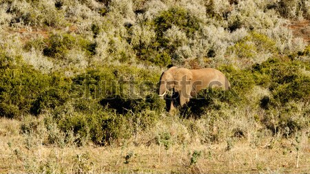 Big field with an african bush elephant  Stock photo © markdescande