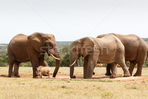 Warthog have no chance against the Bush Elephant Stock photo © markdescande