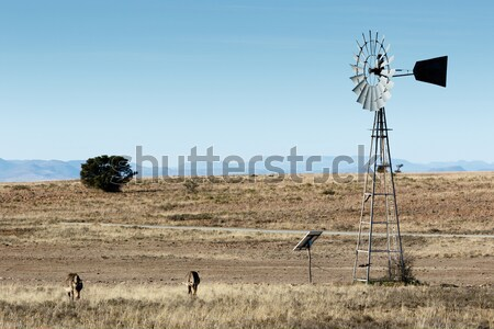 Mountain Zebras at the windmill Stock photo © markdescande