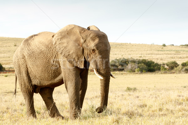 Just eating some dry grass - The African Bush Elephant Stock photo © markdescande