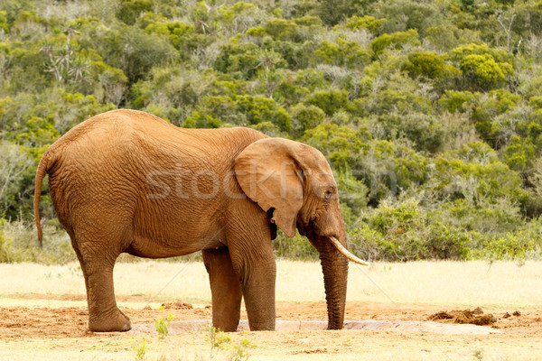 Bush Elephant with feet and trunk in the dam Stock photo © markdescande