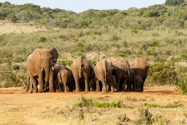 The Female and Baby Elephants gathering Stock photo © markdescande