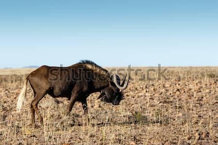 Stock fotó: Fekete · mező · fű · kék · portré · park