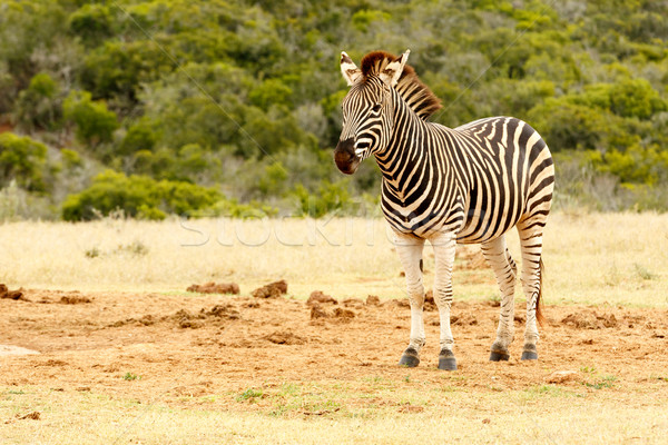 Burchell's Zebra waiting for a turn at the watering hole Stock photo © markdescande