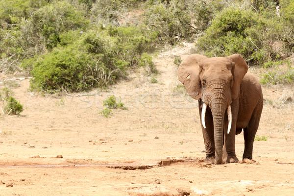 Bokor elefánt áll egyedül erdő természet Stock fotó © markdescande