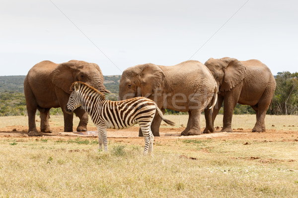 Zebra standing in the way of the perfect elephant photo shoot Stock photo © markdescande