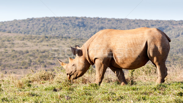 Black Rhinoceros eating grass  Stock photo © markdescande