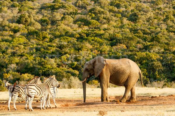 Afrika çalı fil sohbet zebra orman Stok fotoğraf © markdescande
