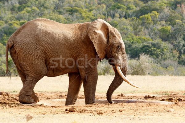 Bush Elephant using his trunk to suck up water Stock photo © markdescande
