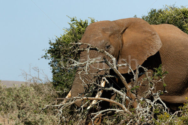Bokor elefánt rejtőzködik mögött ágak mező Stock fotó © markdescande