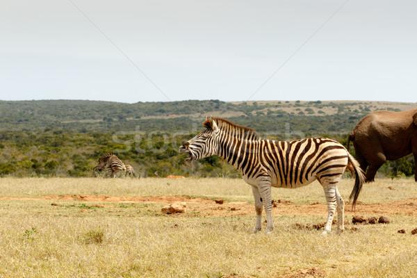 Burchell's Zebra standing and choking Stock photo © markdescande