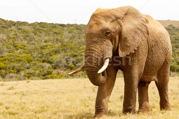 Elephant standing proudly in the field Stock photo © markdescande