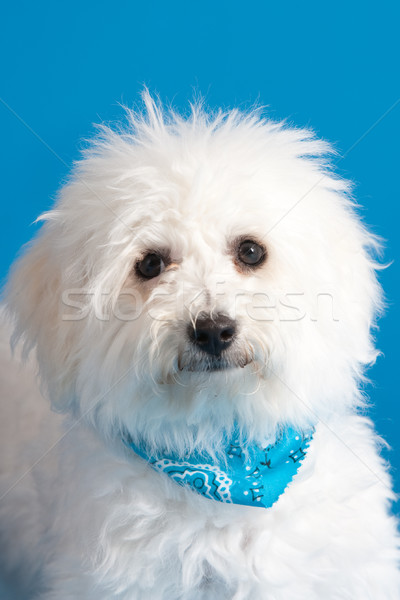 Bichon Frise Puppy Stock photo © markhayes