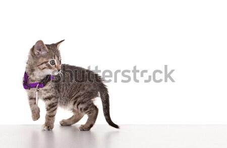 Grey Tabby Kitten Stock photo © markhayes