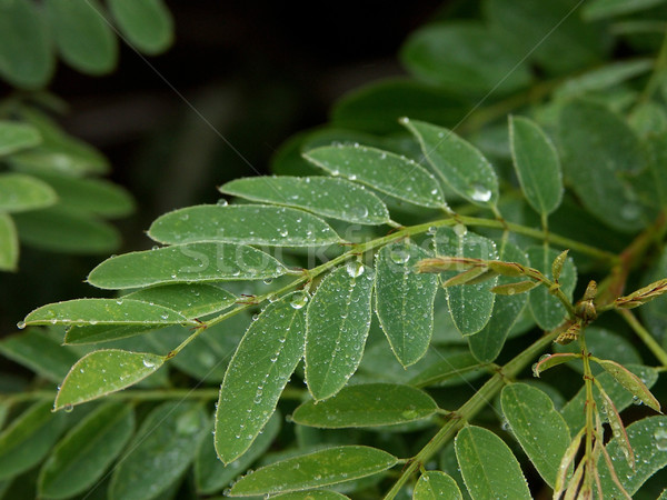 葉 水滴 雨 嵐 庭園 水 ストックフォト © markhayes