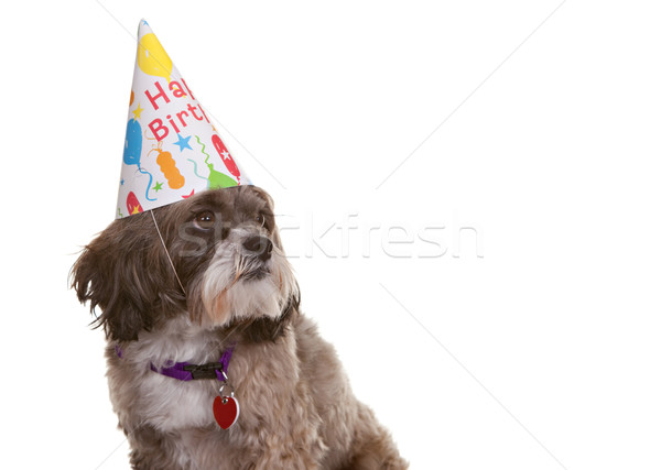 Dog with Party Hat Stock photo © markhayes