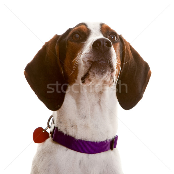 Dog looking Stock photo © markhayes