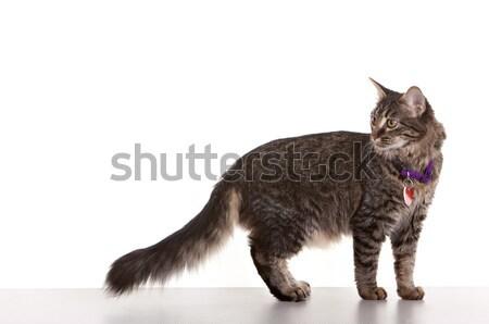 グレー 子猫 白 猫 楽しい 徒歩 ストックフォト © markhayes