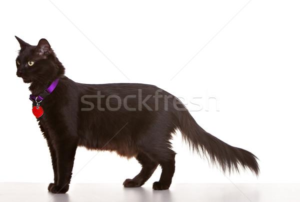 Black Cat Stock photo © markhayes