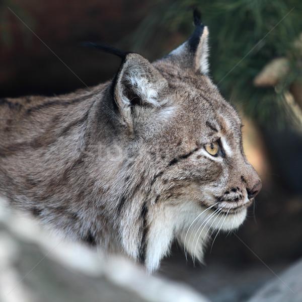 Lynx Stock photo © maros_b