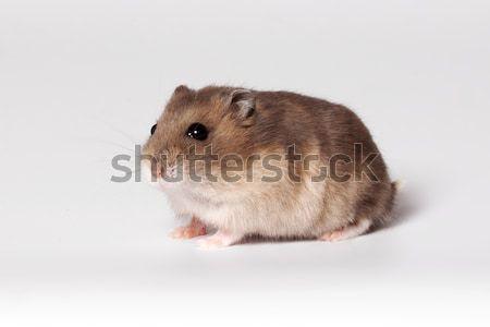 Brown hamster Stock photo © maros_b