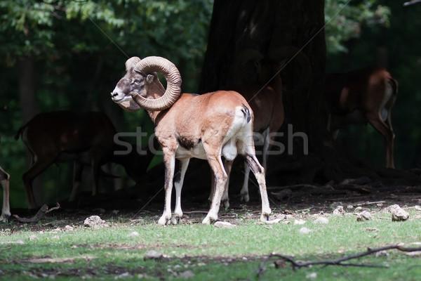 Mouflons Stock photo © maros_b