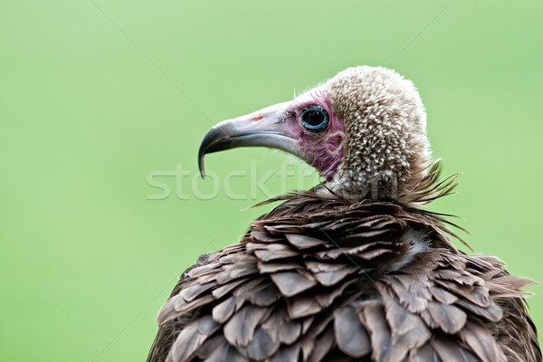 Vulture Stock photo © maros_b