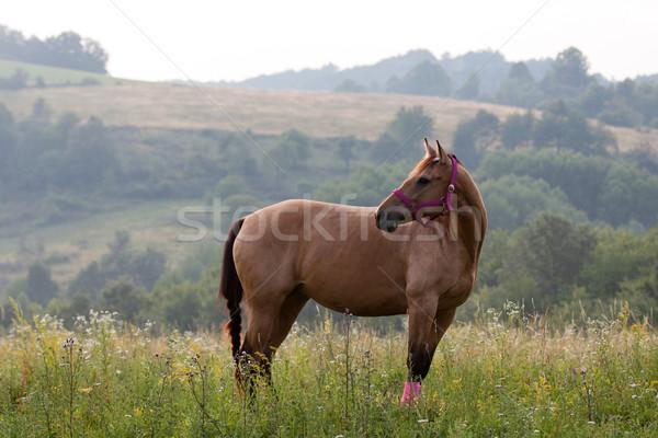 Trimestre cavalo marrom em pé prado rosa Foto stock © maros_b