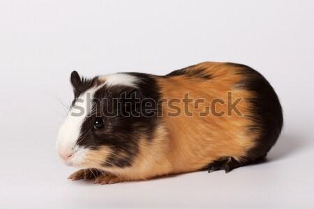 Small colored guinea pig Stock photo © maros_b