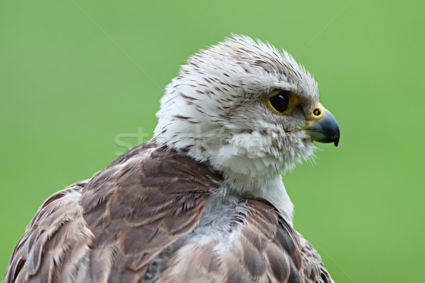 Young bald eagle Stock photo © maros_b