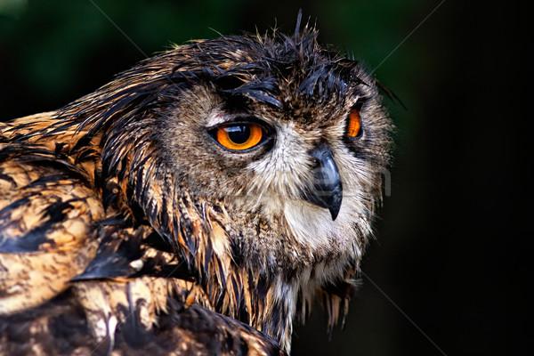 Fotografia portret puchacz zielone ptaków Zdjęcia stock © maros_b