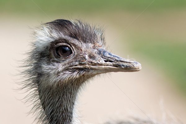 Stock photo: Emu portrait