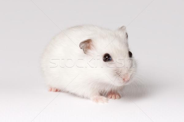 Witte hamster roze zwarte ogen Stockfoto © maros_b