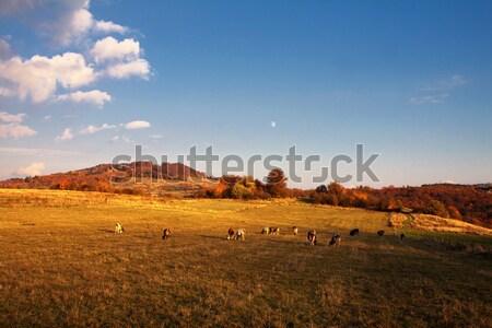 Vacche autunno montagna cielo luna Foto d'archivio © maros_b