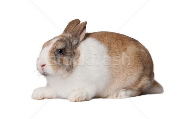 Piccolo domestico coniglio baby occhi Foto d'archivio © maros_b