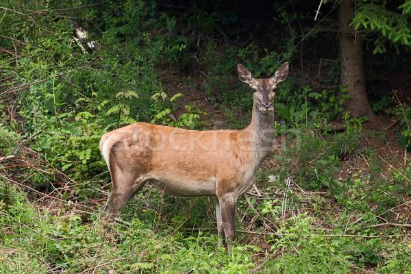 Female deer Stock photo © maros_b