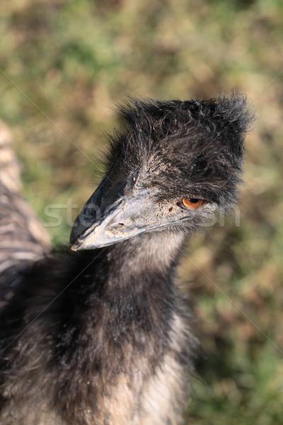 Stock photo: Emu portrait