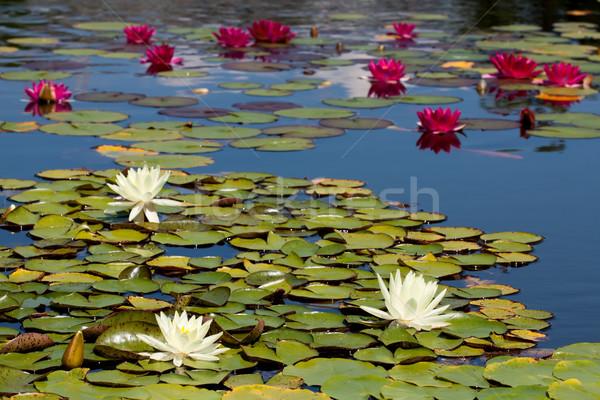 Waterlily Stock photo © maros_b