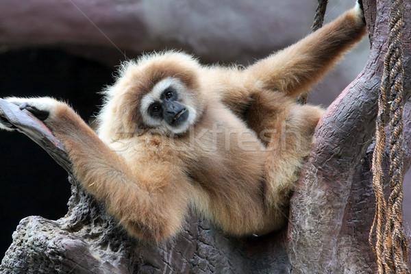 Aap touw regenwoud dierentuin wildlife zoogdier Stockfoto © martin33