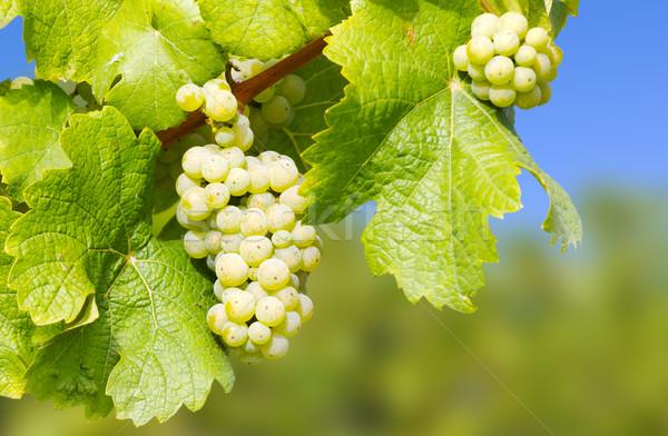 Wijn druiven wijngaard hemel voedsel blad Stockfoto © martin33