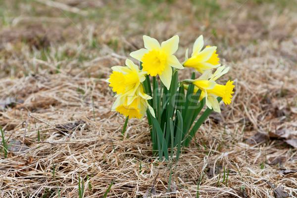 Sarı nergis Paskalya çim doğa yeşil Stok fotoğraf © martin33