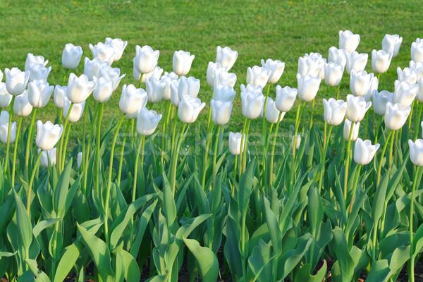 Beyaz lale çiçek çim yaprak yeşil Stok fotoğraf © martin33