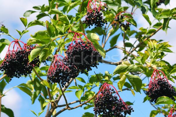 elderberry Stock photo © martin33
