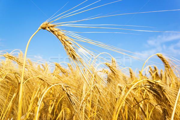 Gouden tarwe graan veld Blauw landbouw Stockfoto © martin33