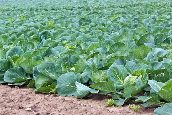 cabbage field Stock photo © martin33