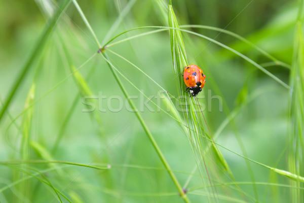 Katicabogár fű levél nyár mező élet Stock fotó © martin33